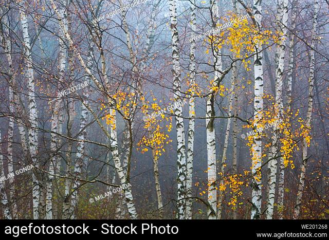 Autumnal forest in the foothills of Mala Fatra mountain range, Slovakia