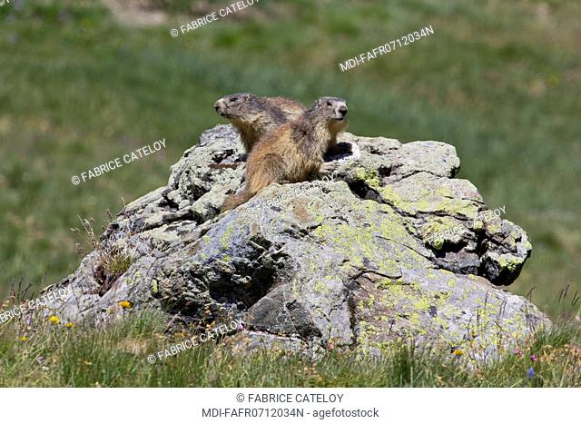 Nature - Fauna - Marmot - Couple of marmots on a rock in the natural regional park of Queyras