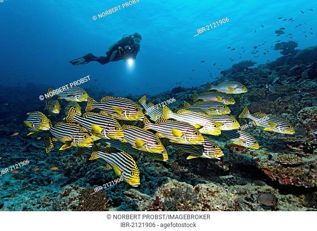 Scuba diver with torch watching school of Oriental Sweetlips (Plectorhinchus vittatus, Plectorhinchus orientalis) at coral reef, Great Barrier Reef