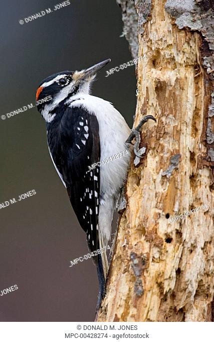 Hairy Woodpecker (Picoides villosus) male on snag, western Montana