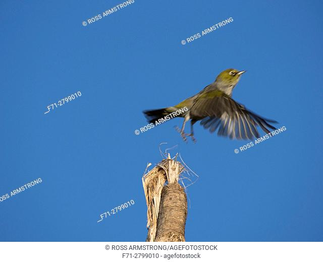 The silvereye or wax-eye (Zosterops lateralis) flying off the top of a cabbage tree. Whangarei Northland, New Zealand