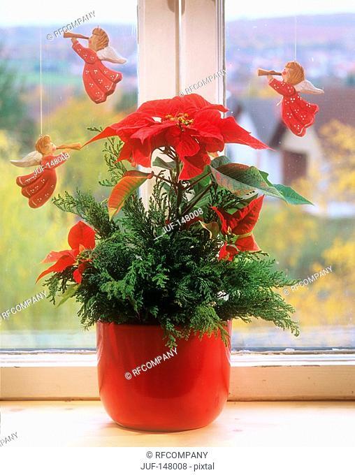 poinsettia / Euphorbia pulcherrima