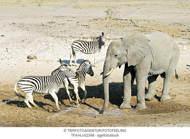 African Elephant and zebras