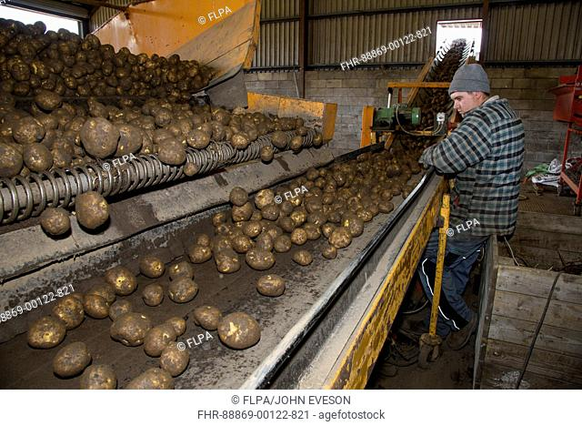 Pre-sorting potatoes as they travel up an elevator to a washing and sorting unit on a farm, Ormskirk, Lancashire