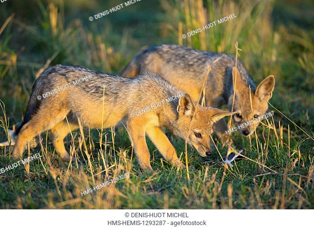 Kenya, Masai Mara national reserve, black-backed jackal (Canis mesomelas), youngs playing with a feather