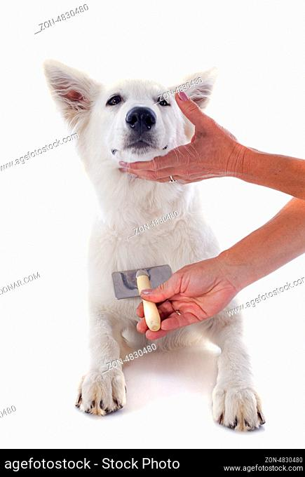 grooming of White Swiss Shepherd in front of white background