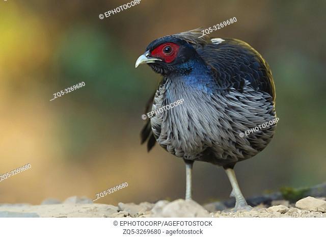 Khaleej Pheasant, lophura leucomelanos, Sattal, Nainital, Uttarakhand, India