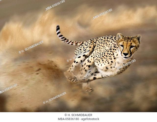 Cheetah on hunt, Acinonyx jubatus