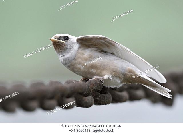 Barn Swallow ( Hirundo rustica ), just fledged, gene defect, white plumage, leucistic, leucism, perched on a massive chain, begging, wildlife, Europe