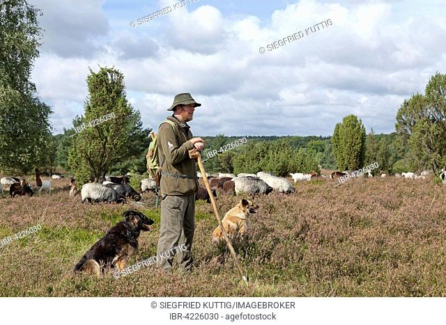 Shepherd with dogs and flock of sheep, Lüneburg Heath in Wilsede, Lower Saxony, Germany