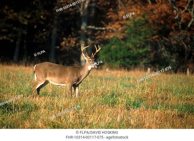 White-tailed Deer Odocoileus virginianus Male - Cades Cove, Great Smoky Mountains, USA