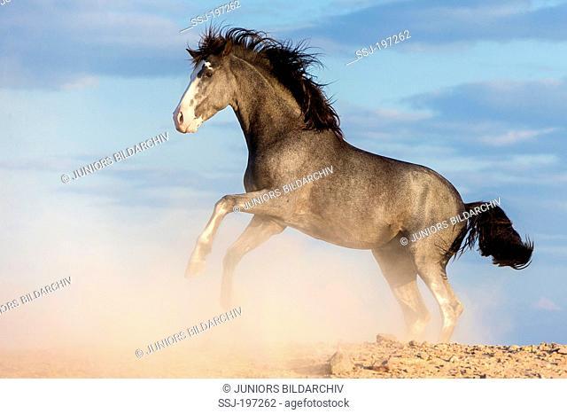 Barb Horse. Blue roan stallion rearing in the desert. Egypt