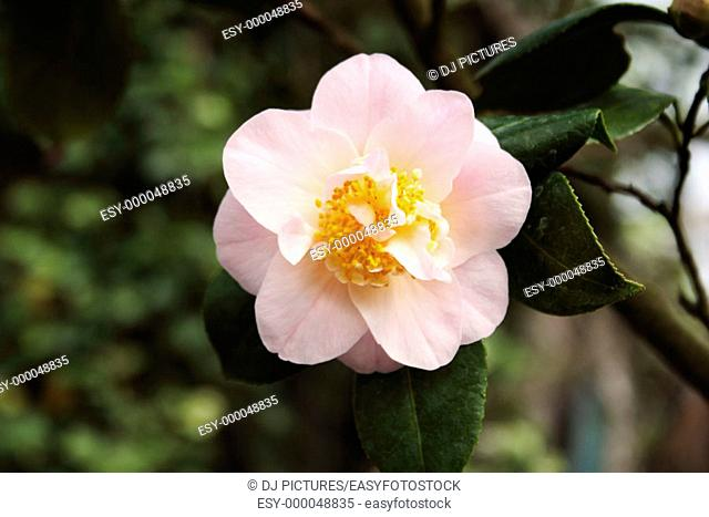 Snow Camellia (Camellia rusticana 'Mizuyoshi')