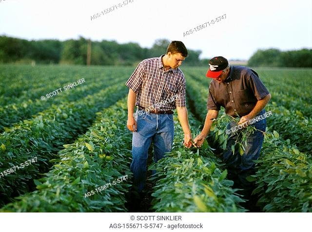 Agriculture - A farmer and his son inspecting their mid growth soybean crop in late afternoon light / South Central TX