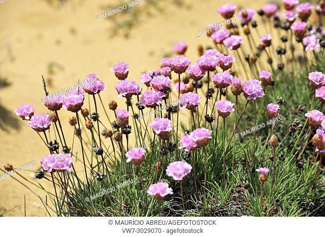 Armeria pungens em flor. Bordeira, Costa Vicentina