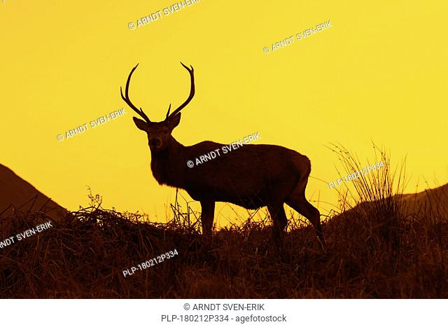 Red deer stag / male (Cervus elaphus) on moorland in the hills silhouetted against sunset in the Scottish Highlands, Scotland, UK