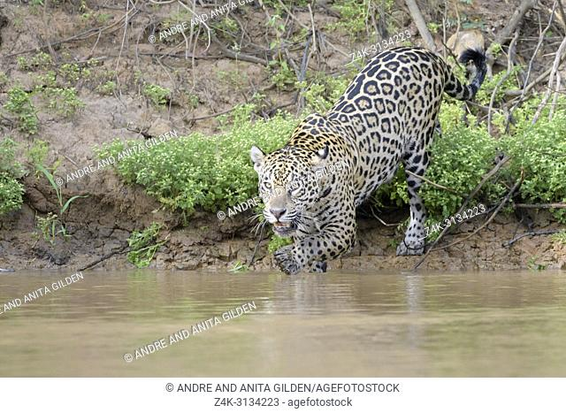 Jaguar (Panthera onca) hunting in water for cayman, looking at camera, Pantanal, Mato Grosso, Brazil