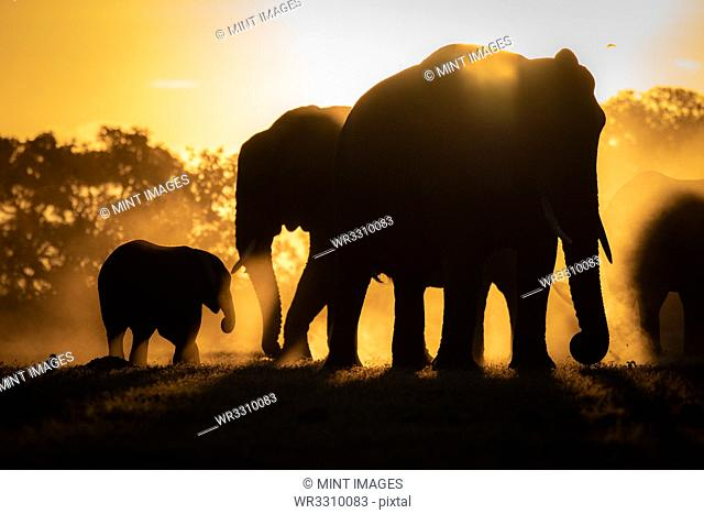 Silhouettes of African elephants, Loxodonta africana, against orange yellow background
