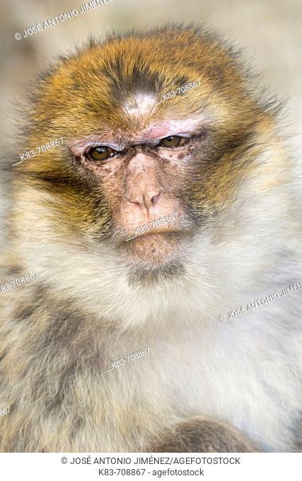 Magot (Macaca sylvana)