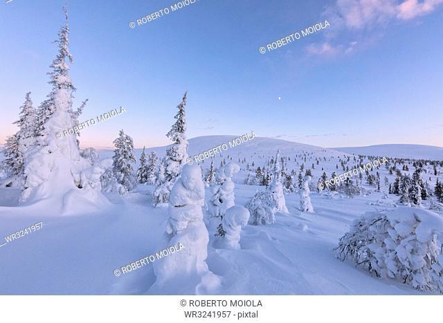 Frozen dwarf shrub and trees, Pallas-Yllastunturi National Park, Muonio, Lapland, Finland, Europe