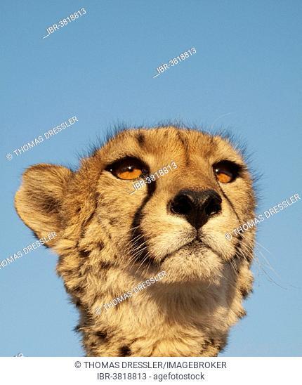 Cheetah (Acinonyx jubatus), female, portrait, captive, Harnas Wildlife Foundation, Namibia