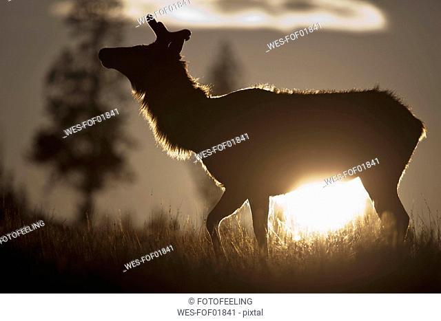 USA, Yellowstone Park, Elk  Cervus canadensis in landscape
