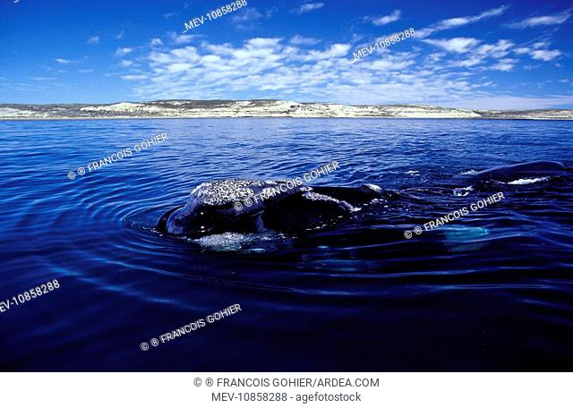 Southern Right Whale - Surfacing (Eubalaena australis). Valdes Peninsula, Patagonia, Argentina
