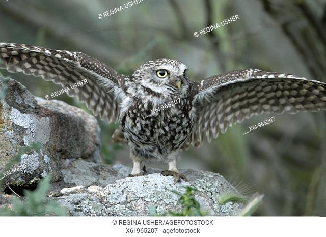 Little Owl Athena noctua, spreading wings in rain, Alentejo, Portugal