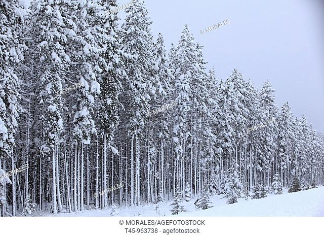 Spruce forest in the Rocky Mountains, Jasper National Park, Alberta, Canada