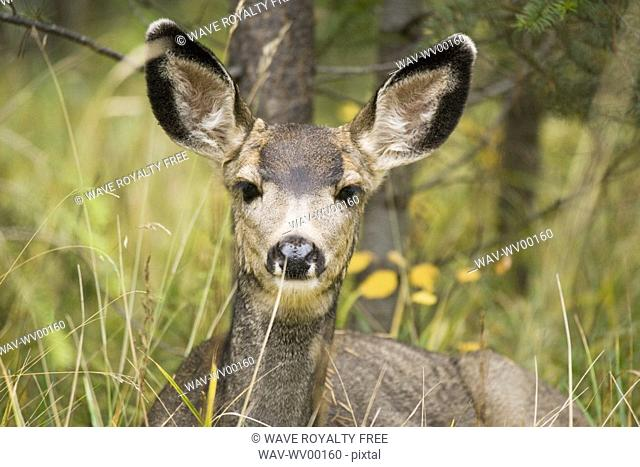Mule deer Odocoileus hemionus near Maligne Lake, Jasper National Park, Alberta, Canada