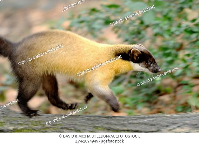 Close-up of a yellow-throated marten or kharza (Martes flavigula) running on a tree trunk