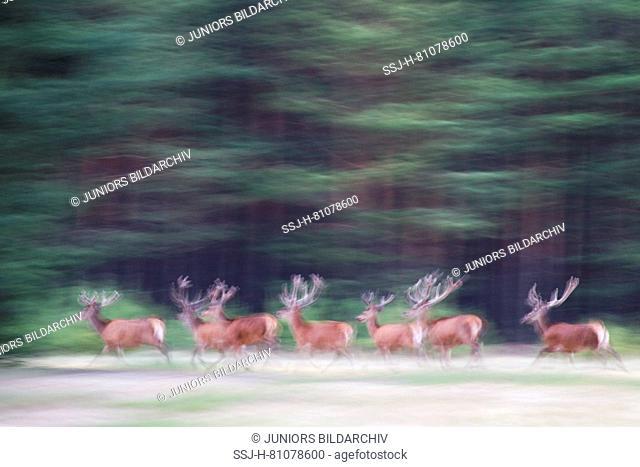 Red Deer (Cervus elaphus). Group of stags in velvet fleeing. Saxony, Germany