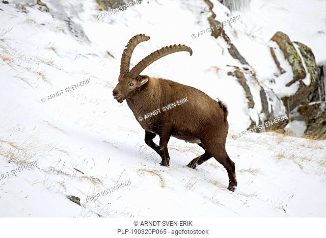 Alpine ibex (Capra ibex) male with large horns foraging on mountain slope in the snow in winter, Gran Paradiso National Park, Italian Alps, Italy