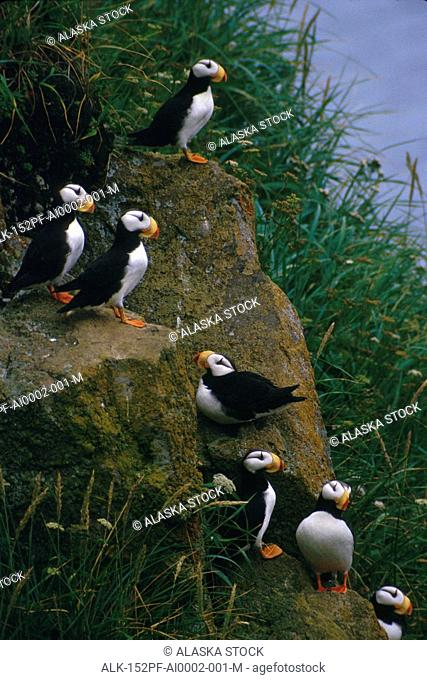 Horned Puffins on rock Round Island Southwest AK summer portrait