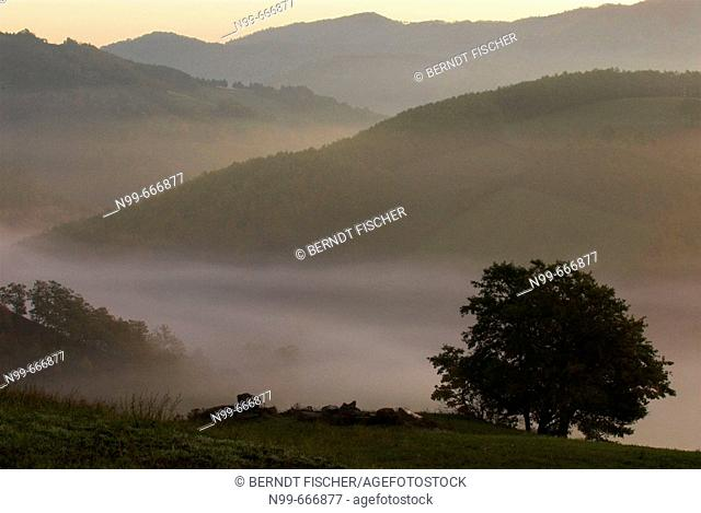 Beech tree (Fagus sp.) and pasture, deciduous forest, lower mountain ranges, early morning  fog in autumn,  Apennine mountains, Emilia Romagna, Italy