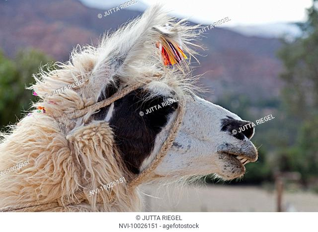 Lama with ear tag of cotton flowers, traditional brandmark, Tilcara, Province Jujuy, Argentina, South America
