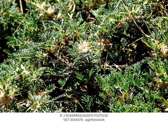 Sicilian milkvetch (Astragalus siculus or Astracantha sicula) is a spiny cushion-like shrub endemic to Sicily. This photo was taken in Etna volcano, Sicily