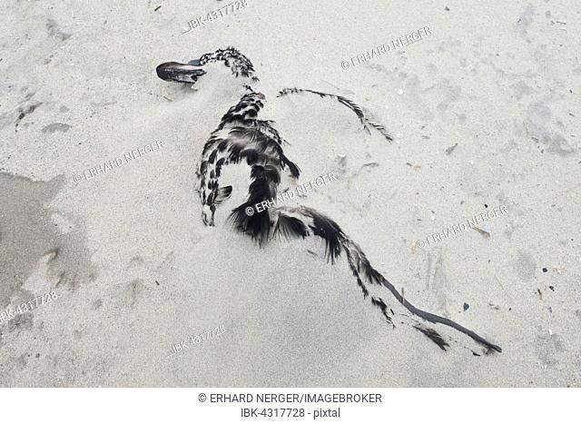 Common eider duck (Somateria mollissima), dead, covered by sand, Langeoog, East Frisia, Lower Saxony, Germany