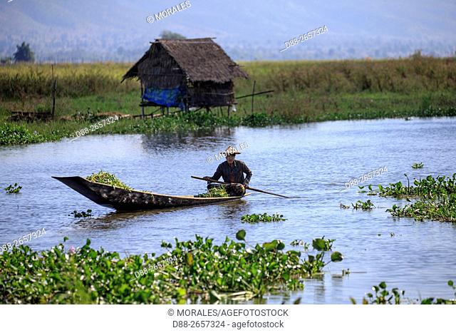 Myanmar, Shan State, Inle lake, farmer on the canals of Inle Lake