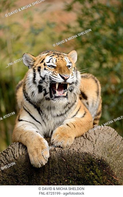 Siberian tiger (Panthera tigris altaica) lying on the ground