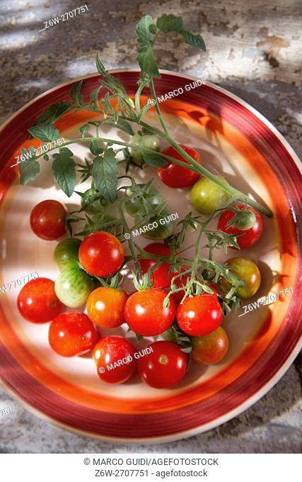 Fresh tomato cherry Bunch of Italian Tuscan cultivation area