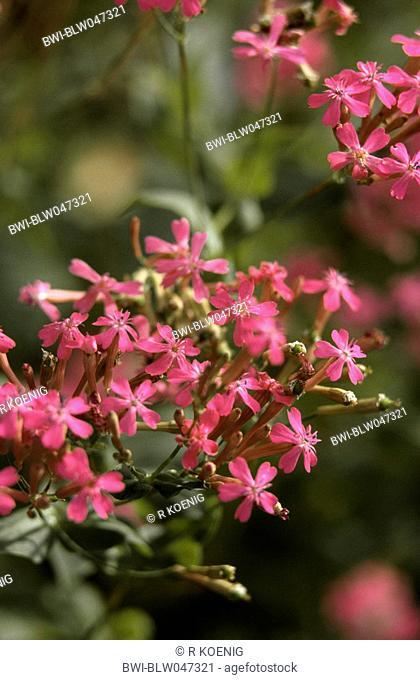 garden catchfly, sweet-william catchfly, thrift catchfly, none so pretty Silene armeria, blossoms