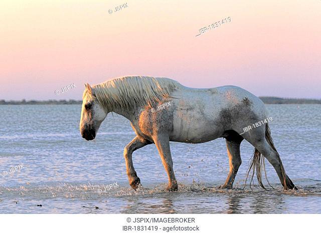 Camargue horse (Equus caballus), water, dusk, Saintes-Marie-de-la-Mer, Camargue, France, Europe