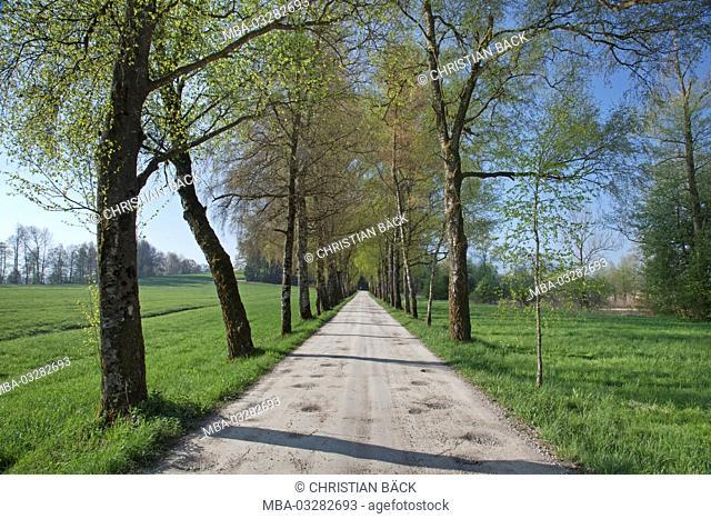 Avenue of birches in the spring, Chiemgau, Chiemgau, Rimsting, Upper Bavaria, Bavaria, South Germany, Germany