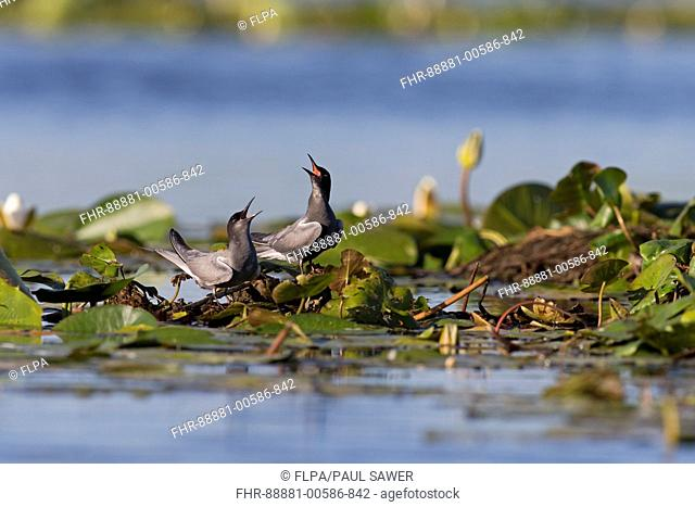 Black Tern (Chlidonias niger) summer plumage adult pair, standing on waterlily root, calling, Danube Delta, Romania, June
