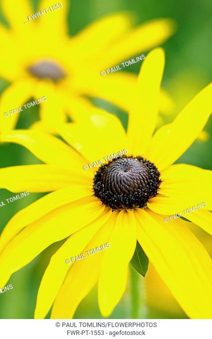 Coneflower, Black-eyed Susan, Rudbeckia fulgida var. deamii, Yellow flowers growing outdoor