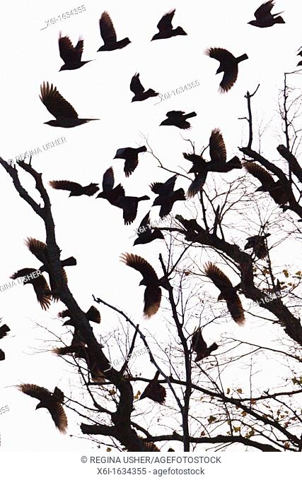 Jackdaw Corvus monedula and Rook Corvus frugilegus, Flock taking off from Roosting Tree, Early Morning, Copenhagen, Sjaelland, Denmark