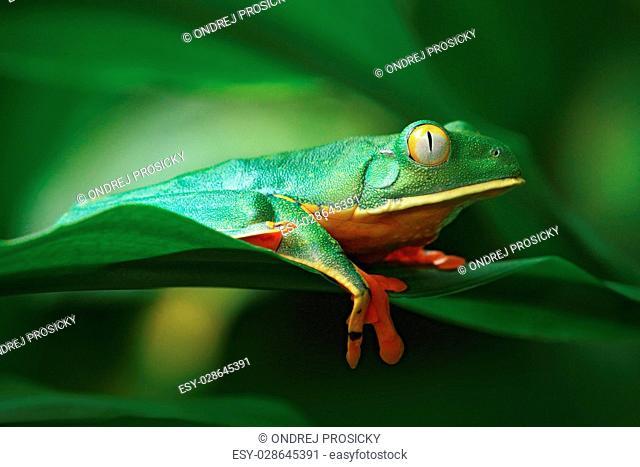 Golden-eyed leaf frog, Cruziohyla calcarifer, Green frog