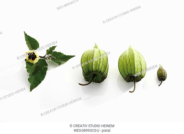 Unripe Physalis fruit Physalis peruviana, elevated view