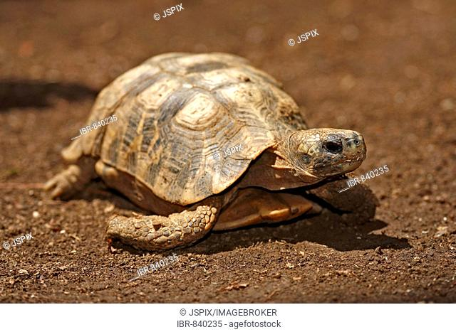 Flat-backed Spider Tortoise, Flat-shelled Spider Tortoise, or Madagascar Flat-shelled Tortoise (Pyxis planicauda), adult, Nosy Be, Madagascar, Africa